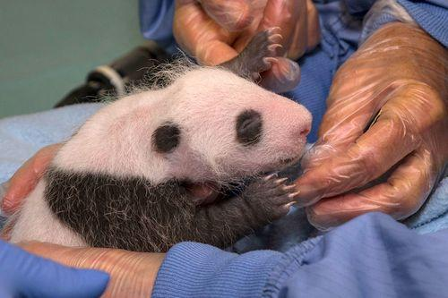 San Diego Zoo Conducts First Exam of Giant Panda Cub